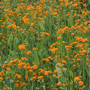 Tassel Flower 'Irish Poet'