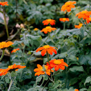 Torch Tithonia