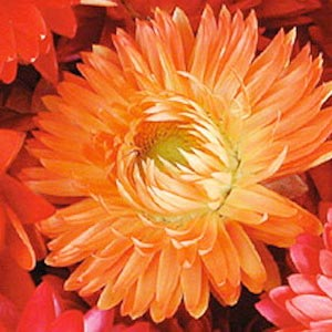 Strawflower Apricot/Peach