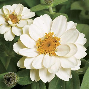 Zinnia Profusion Double White