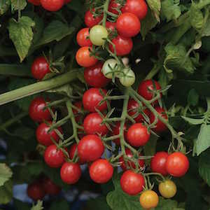 Candyland Red Currant Tomato
