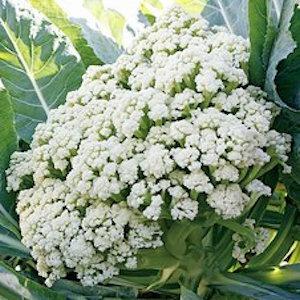 Fioretto 60 Cauliflower