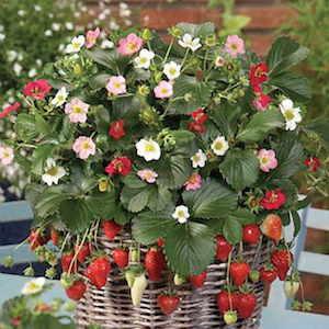 Strawberry Rainbow Treasure