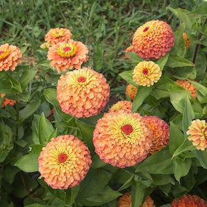 Zinnia Queen Lime Orange