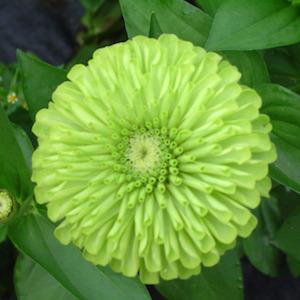 Zinnia Queen Lime