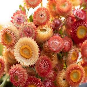 Strawflower Apricot Mix