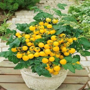 Patio Choice Yellow Tomato