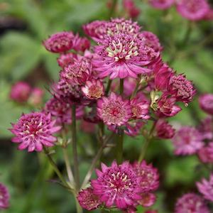 Astrantia Star of Beauty