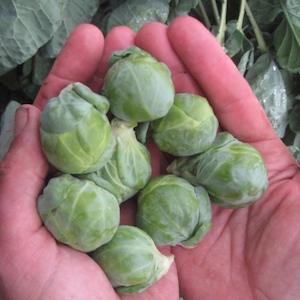 Gustus Brussels Sprouts