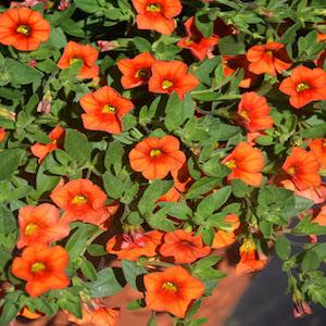 Calibrochoa Kabloom Orange