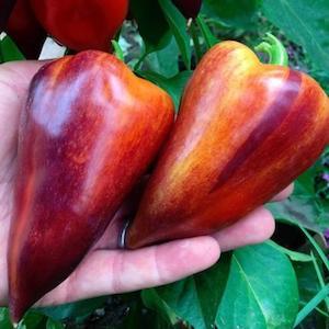 Violet Sparkle Pepper