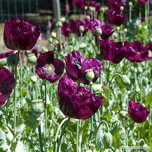 Laurens Dark Grape Poppy