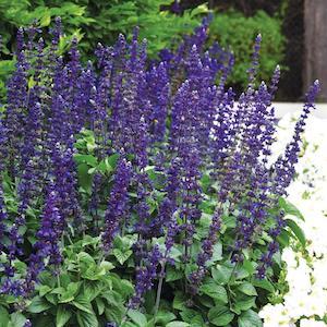 Salvia Big Blue