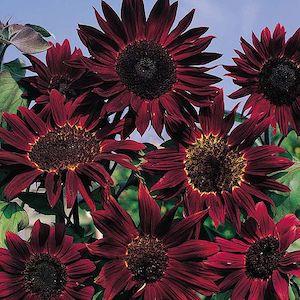Sunflower Claret