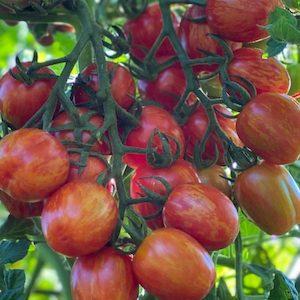 Cherry Ember Tomato