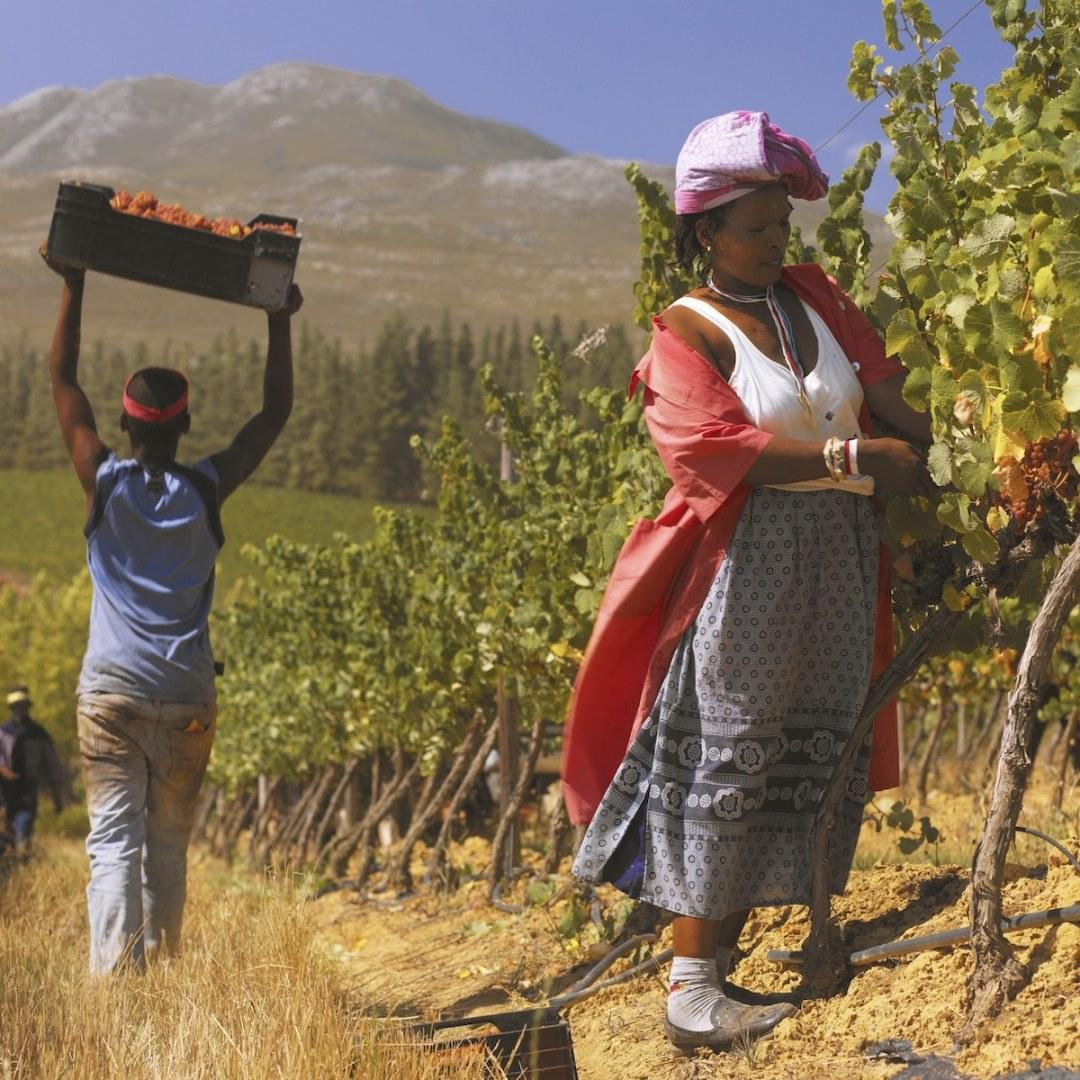 online wijnproeverij Zuid-Afrika. Woman work in vineyards at Paul Gluver