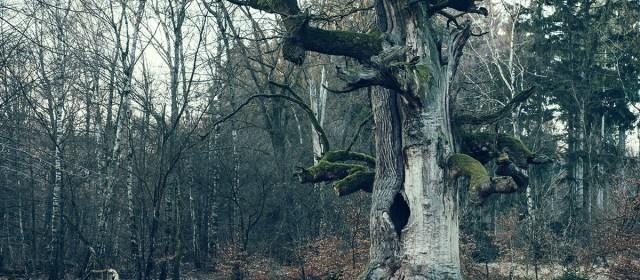Die Kamineiche im Urwald Sababurg