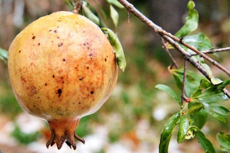 pomegranate on the vine