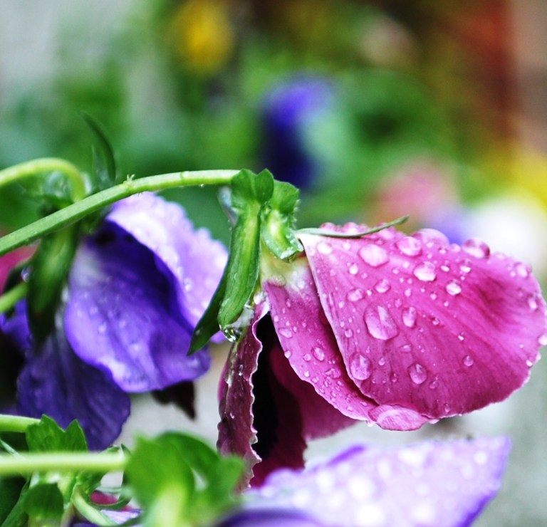 Rain on Pansies Flowers