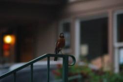 Robin Birds at Twilight