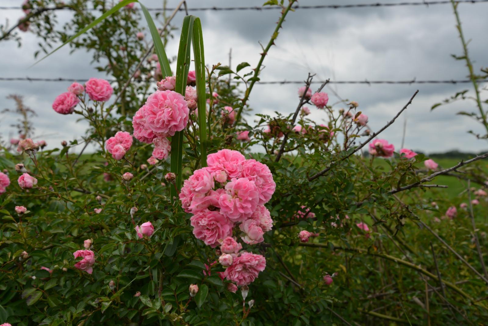 Memorial Day Wild Roses