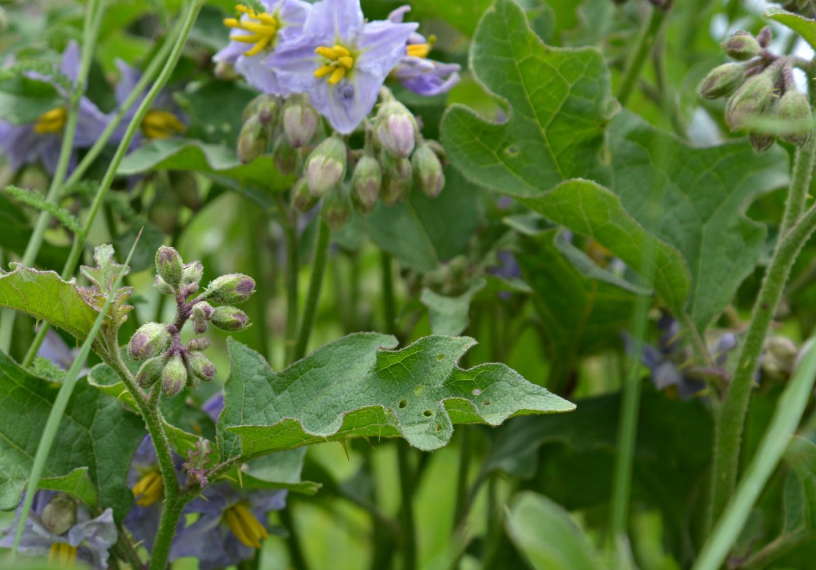 Silver Leaf Wildflower