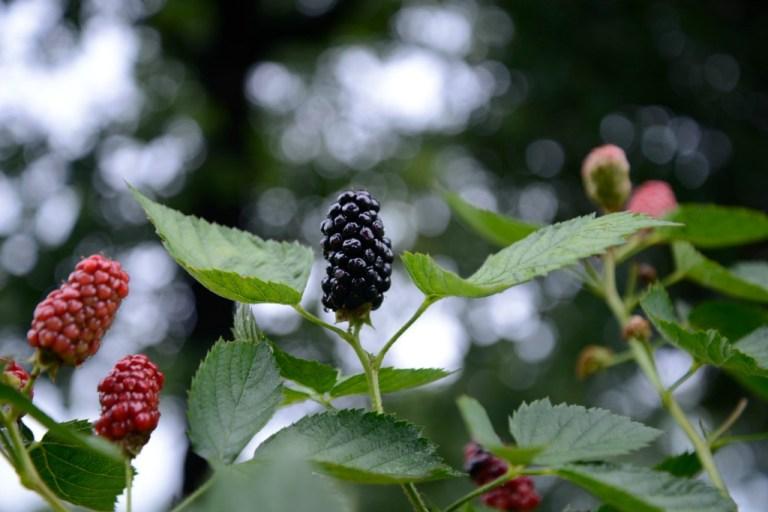 Blackberries Bokeh