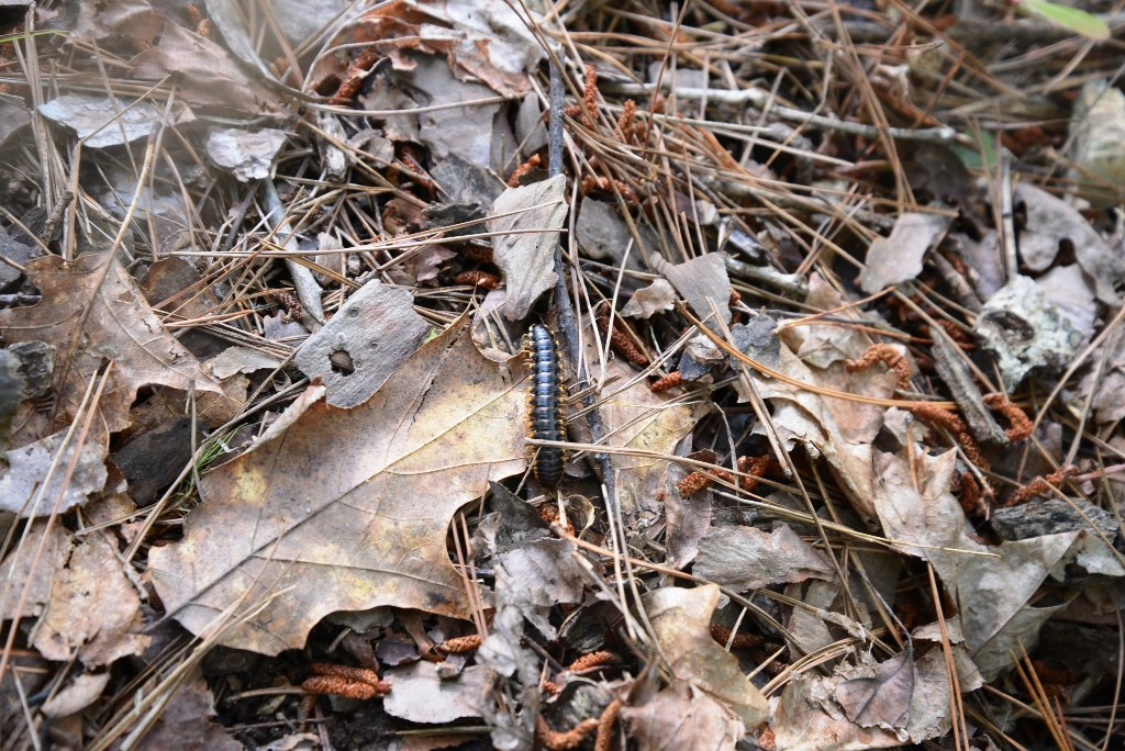 Centipede in the forest