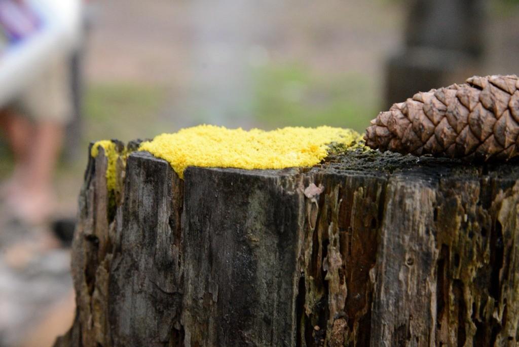 Yellow Lichen on Tree Stump