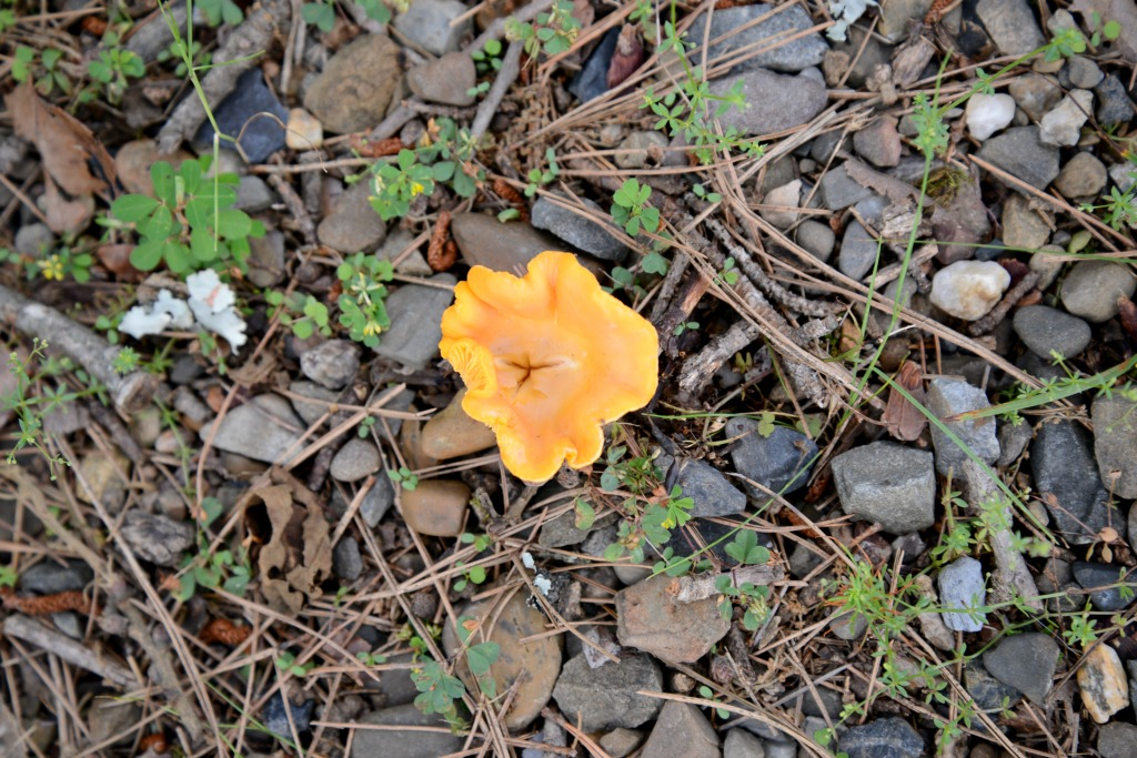 orange mushroom broken bow