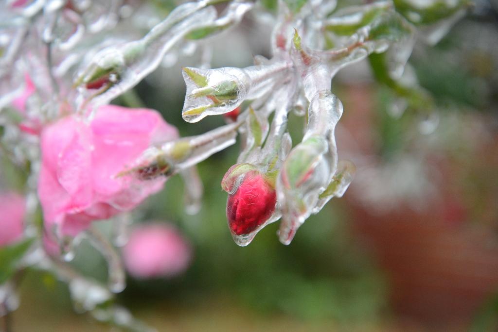 rose bud ice