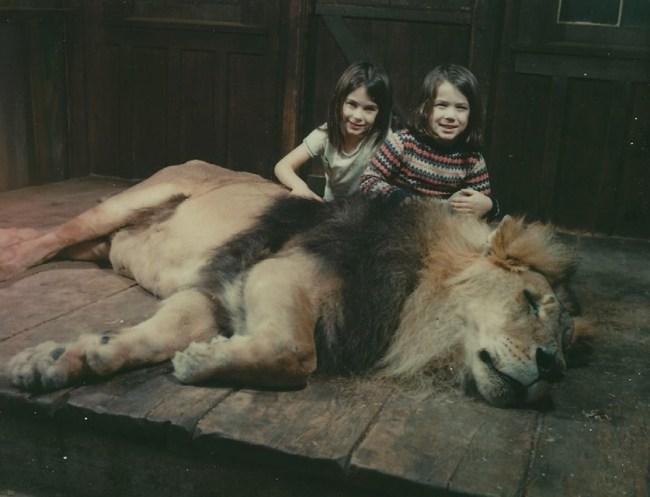 Magic Mountain Sedated Lion 1970s