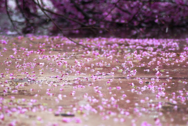 Redbud Trees are a spring staple in Oklahoma
