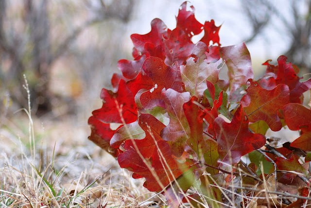 Red Fall Foliage in Oklahoma