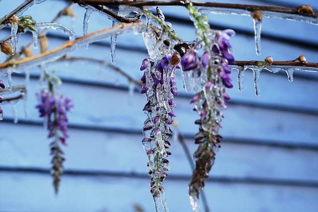 Purple wisteria covered with ice