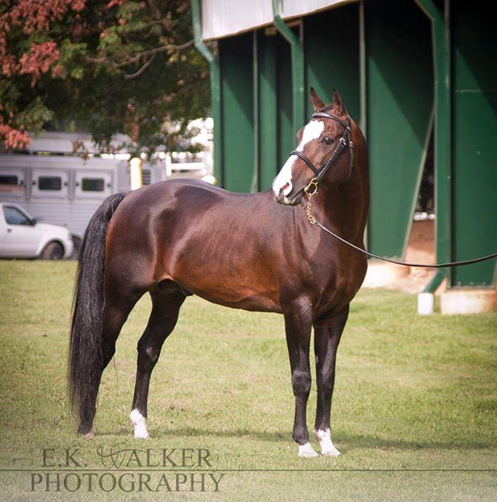 Montego's Thunder Morab stallion