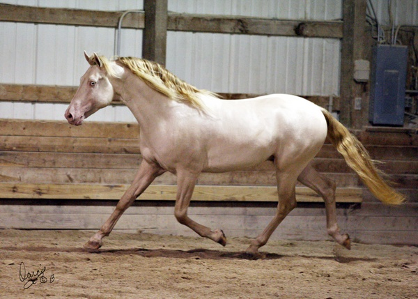Jericho's White Knight trotting. Photo Credit: Highland Photography by Darcie