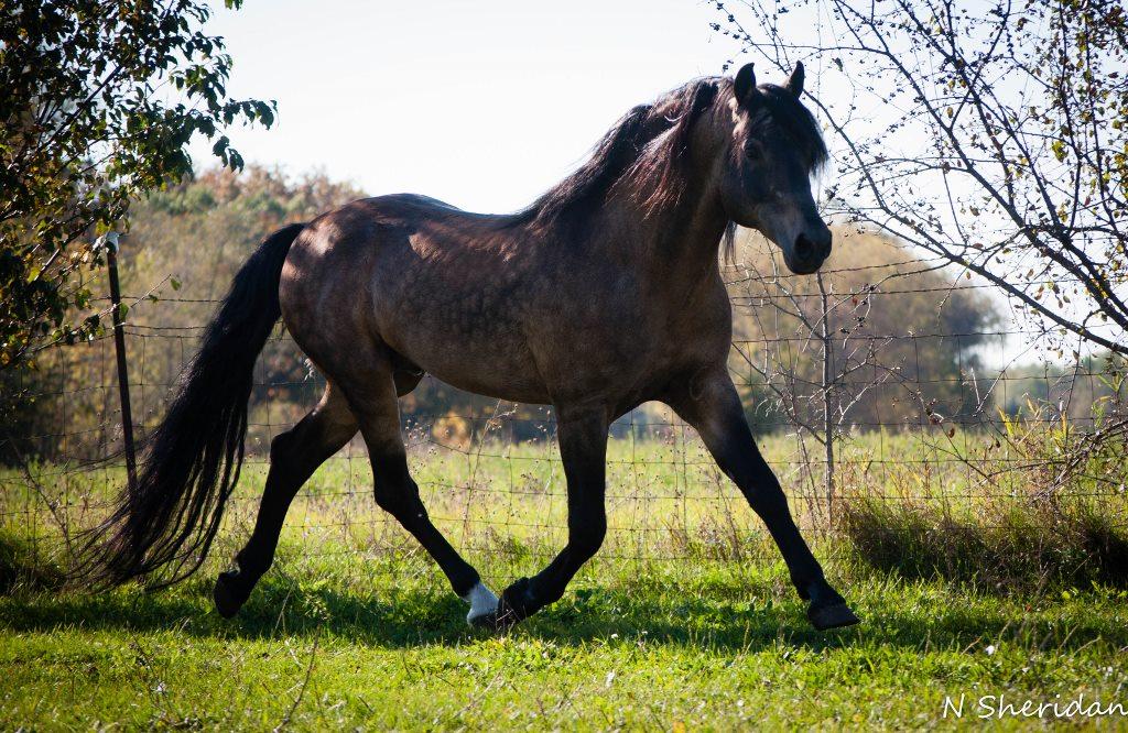Jericho's Royal Stormhawk, Morab stallion