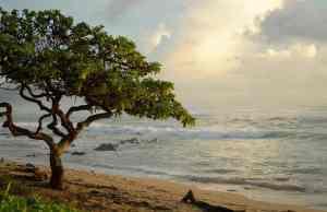 Tree on a beach in Kauai