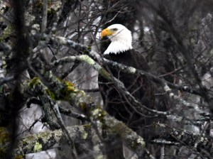 Bald Eagle-Jan19-17