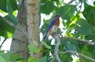 Bluebird-6-16