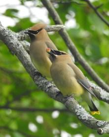 Cedar-Waxwing-pair