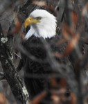 Bald Eagle-nov-29-17