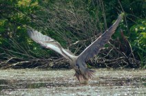 Heron-Chittening-july20-16