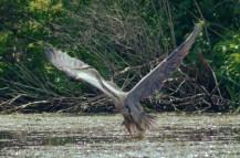 Heron-Chittening-july20-16