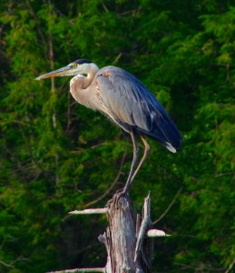 Heron-jul27-16-3