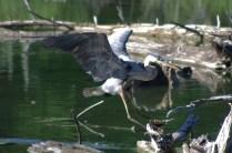 Heron-landing