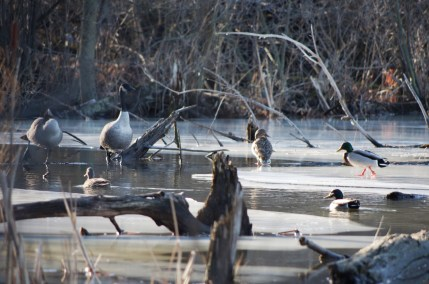 Geese and Mallard Ducks - Rayhill Trail February 21, 2018