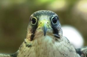 Laner Falcon 3