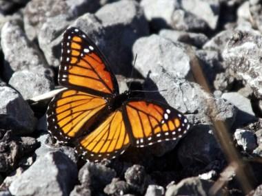 Monarch-sep12-2016